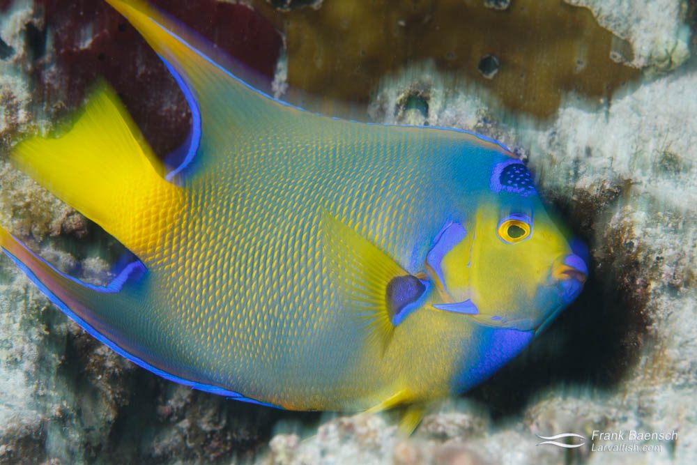 A queen angelfish (Holocanthus ciliaris) sub-adult about to hide. Bahamas.