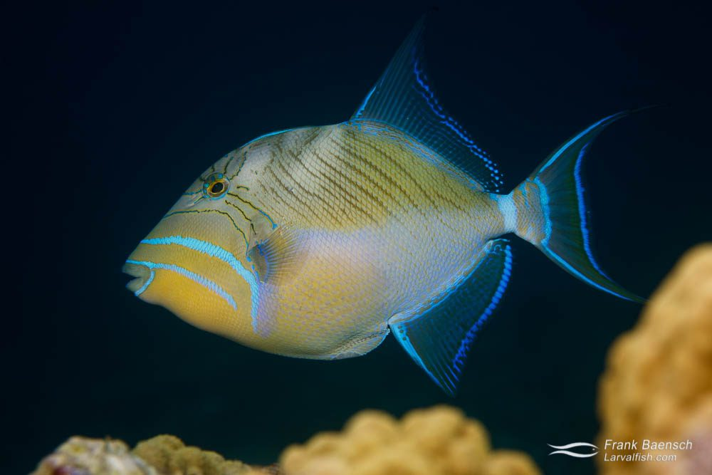 Queen triggerfish (Balistes vetula) is the first triggerfish species to be bred in captivity.  This feat was accomplished in 2009 by a research team headed by Dr. Andrew Rhyne, a scientist at New England Aquarium (NEAq) and Associate Professor at Roger Williams University (RWU). Indonesia.