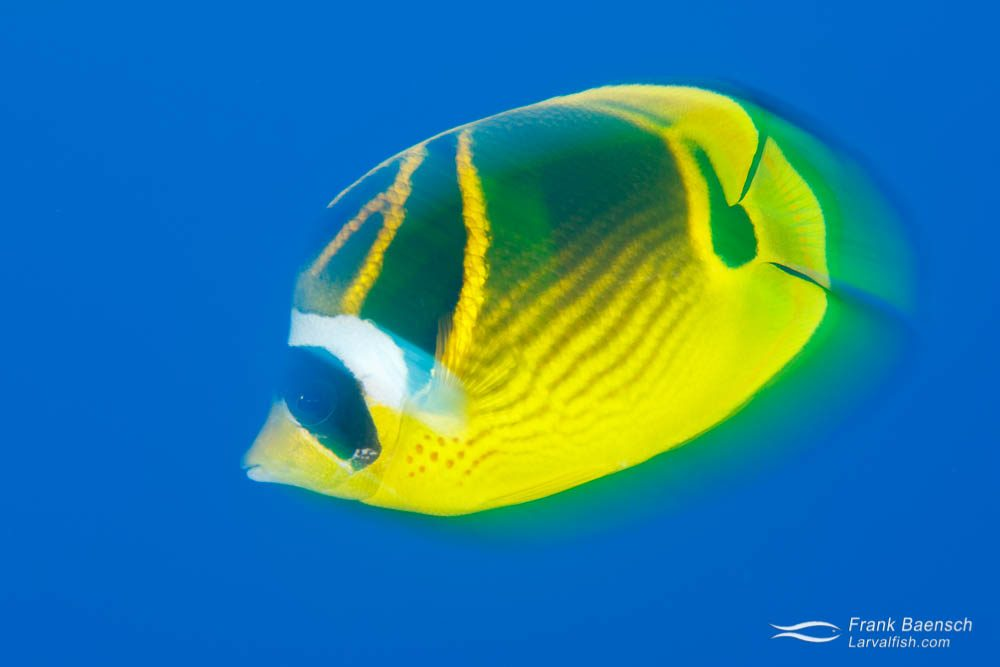 Motion blur of racoon butterflyfish (Chaetodon lunula) in blue water. Hawaii.