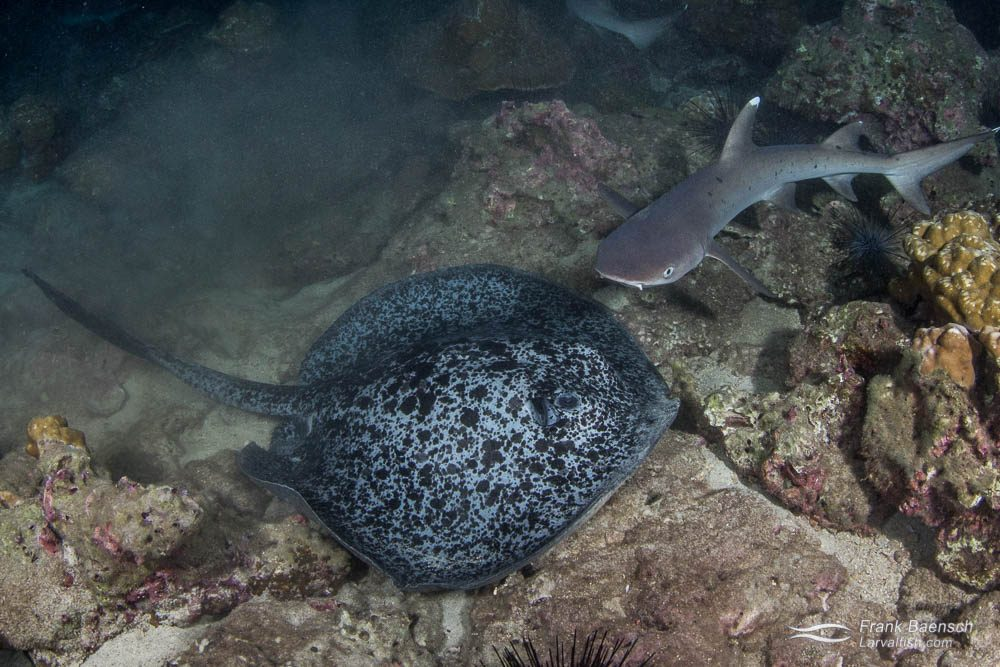 Marbled ray (Taeniura meyeni) and whitetip reef shark (Triaenodon obesus) at night. Costa Rica.
