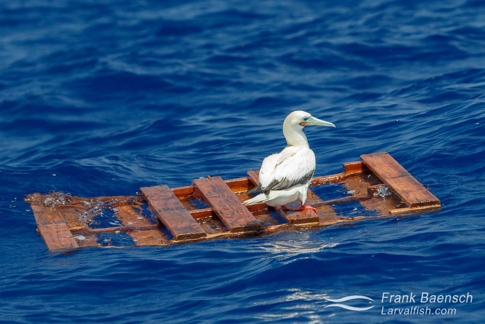 Red-footed booby rests on a wood palette floating in the open ocean.