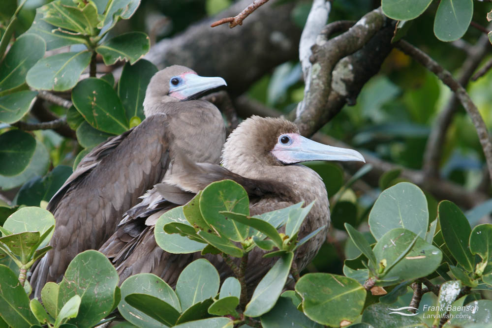 Two red-footed boobys. Cocos Island. Costa Rica.
