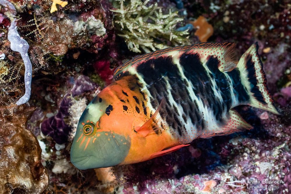 The beautuful redbreasted wrasse (C. fasciatus) on a reef  in the Solomon Islands.