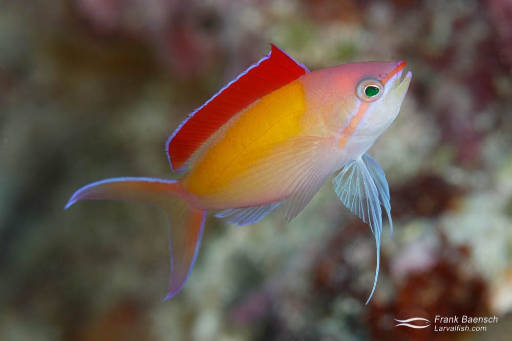 Redfin anthias (Pseudanthias dispar). Palau.