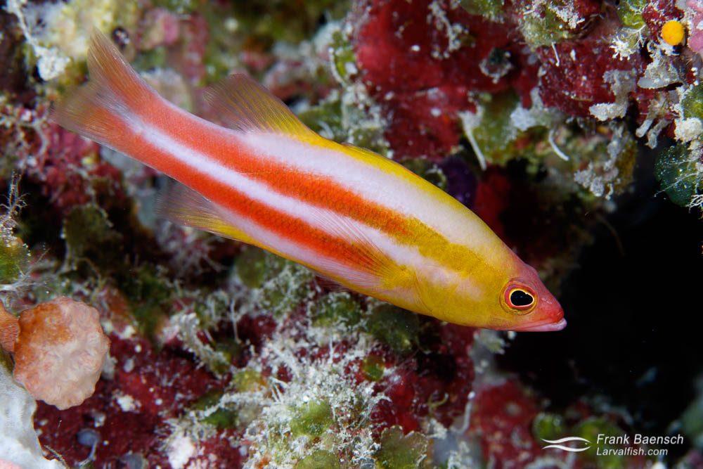 Redstriped basslet (Liopropoma tonstrinum), a rarer deepwater species. Palau.