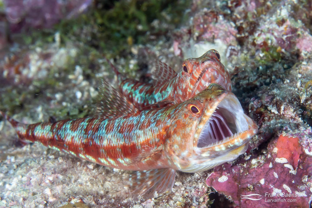 A male reef lizardifish (Synodus variegatus) yawns with the female close behind. Lizardfish live a solitary lifestyle, except when spawning. Solomon Islands.