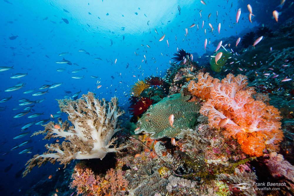 Soft corals, anthias and fusiliers. Indonesia.