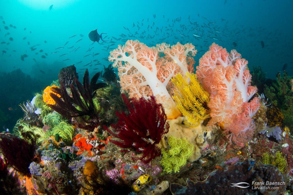 Colorful soft coral reef scene. Indonesia.