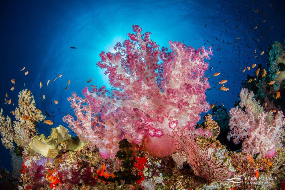 Soft corals and anthias close-focus wide-angle. Fiji.