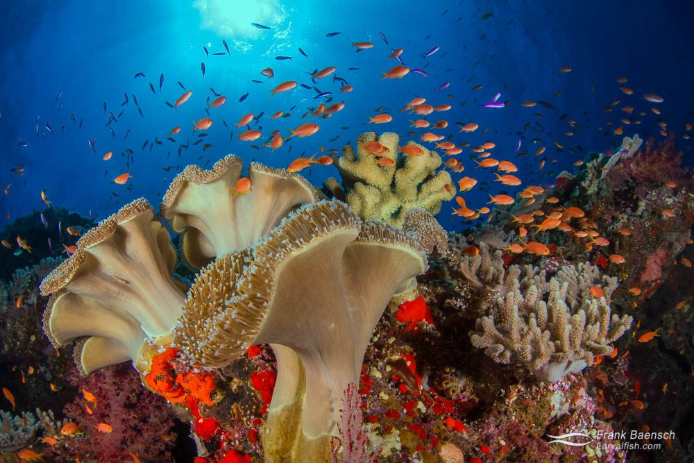 Mushroom soft corals (Sarcophyton sp.) and anthias close-focus wide-angle reef scene. Fiji.