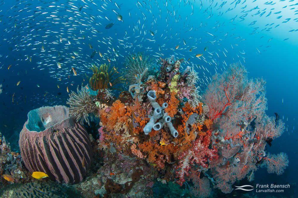 Sponge soft coral silverside reef scene in Raja Ampat, Indonesia.