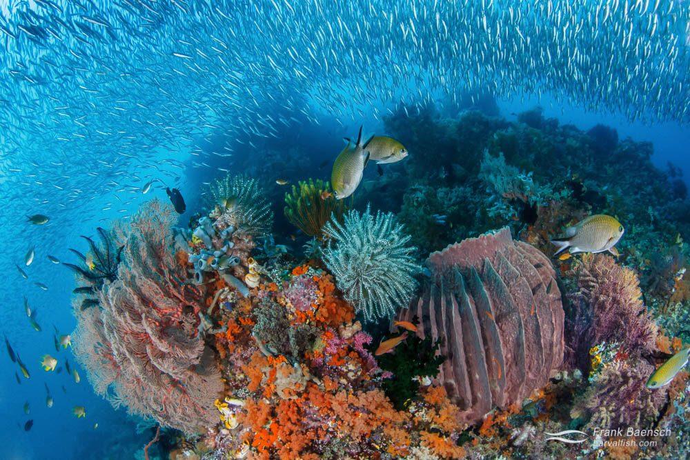 Sponge soft coral silverside damselfish reef scene. Indonesia.