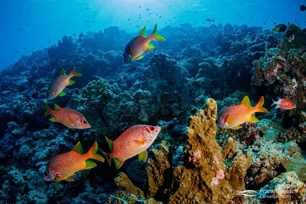 Sqirrelfish reef scene in Palau.