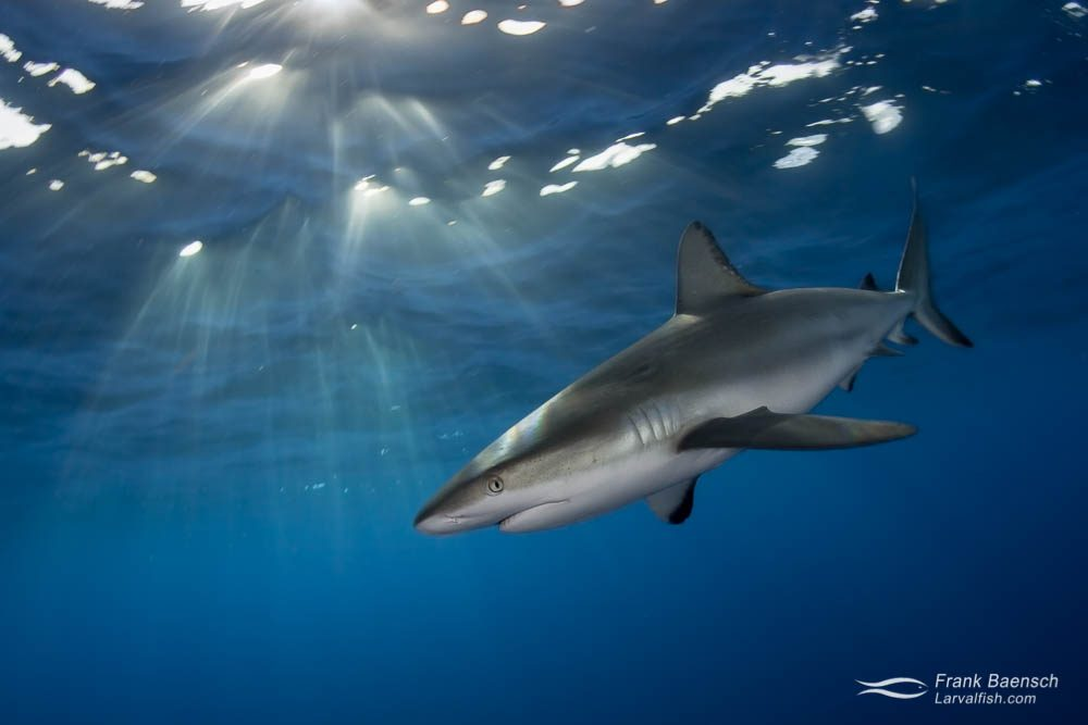 A Carribbean reef shark (Carcharhinus perezi ) at dusk in the Bahamas. At just over 2 feet, junior here still has several years to grow before reaching adulthood (5-7 feet).