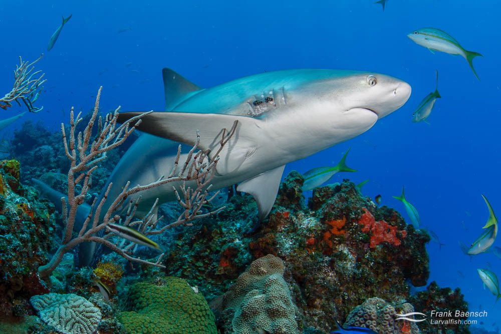 Caribbean reef shark (Carcharhinus perezi) swims up from the reef in the Bahamas.