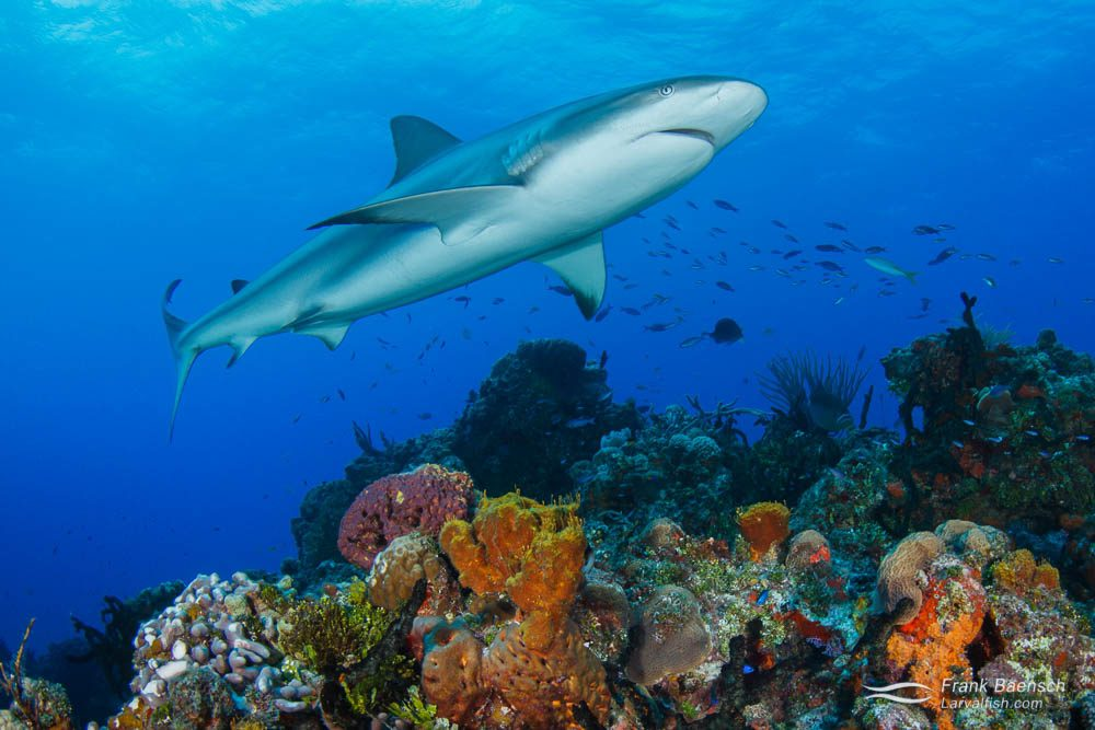 A Caribbean reef shark (Carcharhinus perezi) swims over a colorful reef in the Bahamas.