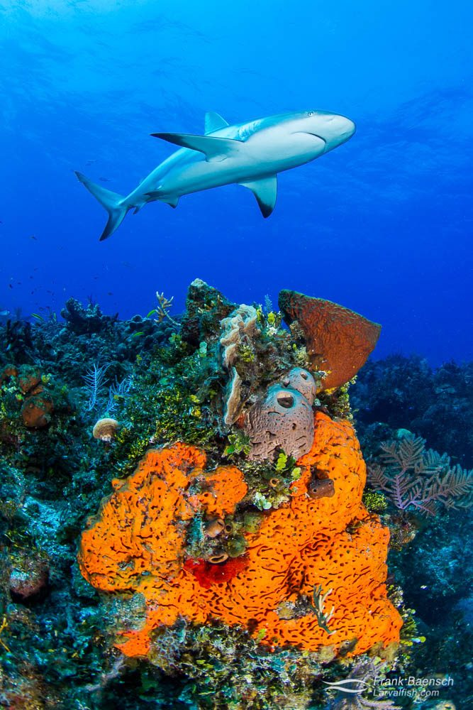 Caribbean reef shark (Carcharhinus perezi) above red sponge on a reef in the Bahamas.