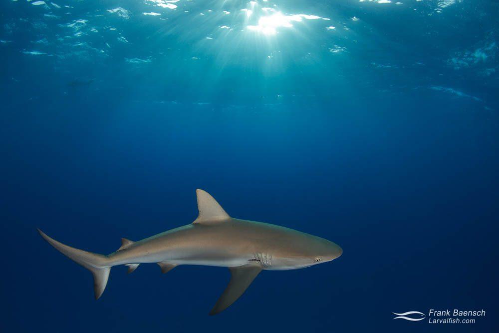 Caribbean reef shark (Carcharhinus perezi) at dusk. Bahamas.