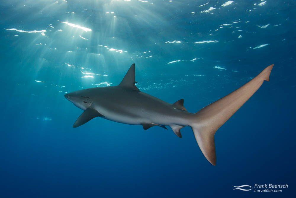 Caribbean reef shark (Carcharhinus perezi) at dusk under sunrays. Bahamas.