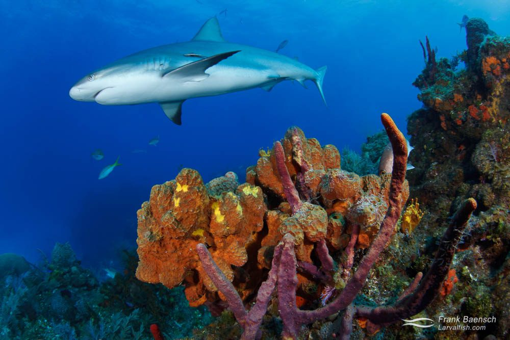 Caribbean reef shark (Carcharhinus perezi) swims over colorful sponges in the Bahamas.