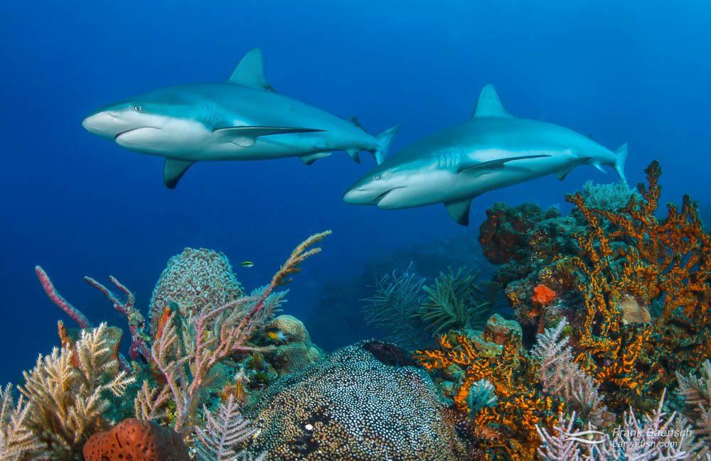 Two Caribbean reef sharks (Carcharhinus perezi) in the Bahamas.