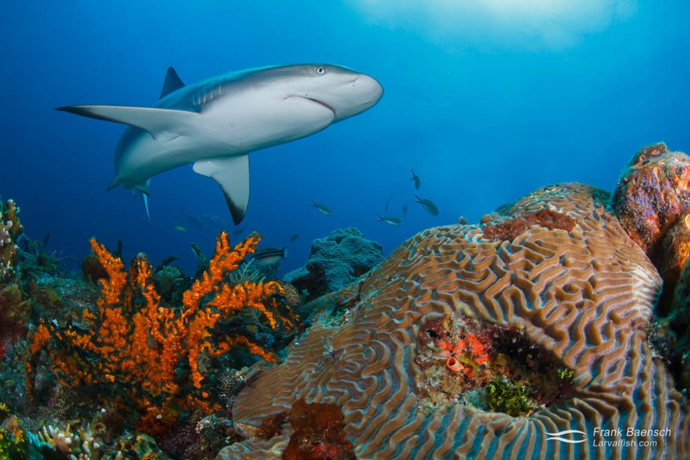 Caribbean reef shark (Carcharhinus perezi). Bahamas.