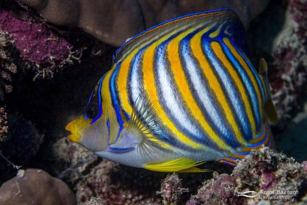 Regal angelfish (Pygoplites diacanthus). Indonesia.