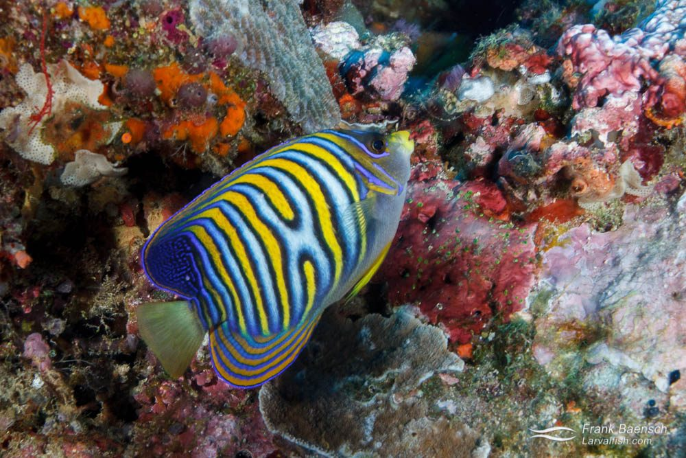 Regal angelfish (Pygoplites diacanthus) with color pattern aberration. Papua New Guinea.