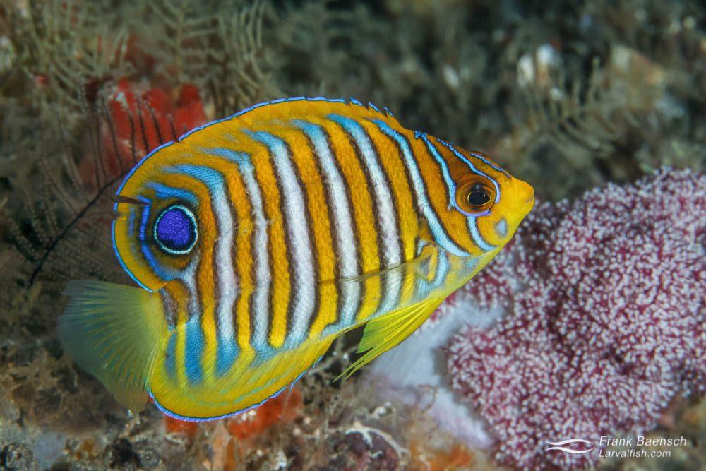 Juvenile regal angelfish (Pygoplites diacanthus).
