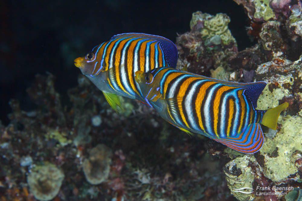 Regal angelfish (Pygoplites diacanthus) pair spawning. Papua New Guinea.