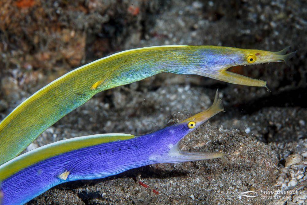 Male and female (top) blue ribbon eel (Rhinomuraena quaesita). Philippines.