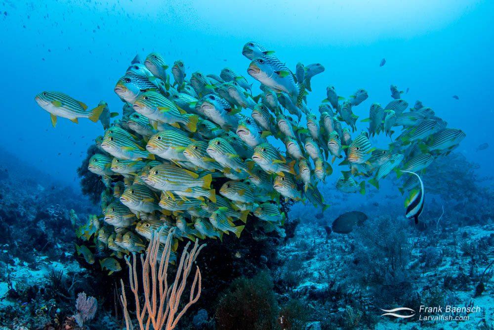 Ribbon sweetlips (Plectorhinchus polytaenia) schooling on a deep reef in Raja Ampat, Indonesia.