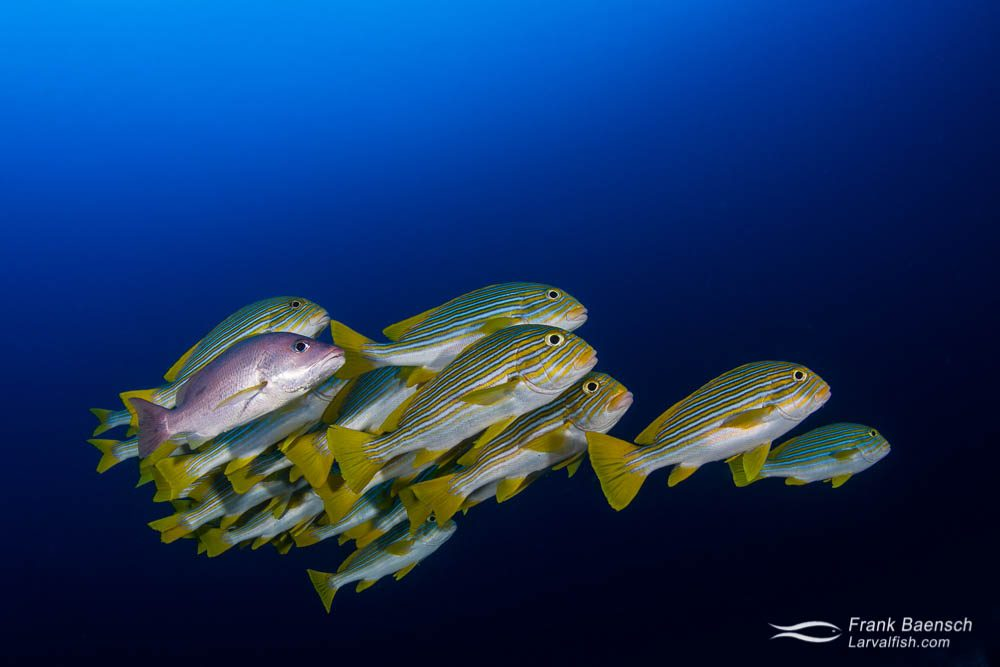 Ribboned sweetlips (Plectorhinchus polytaenia) schooling with lone young red snapper (Lutjanus bohar) in blue water. Indonesia.