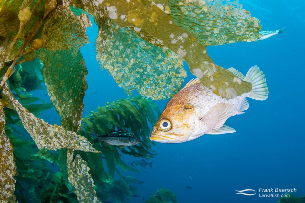 Kelp rockfish (Sebastes atrovirens). California.