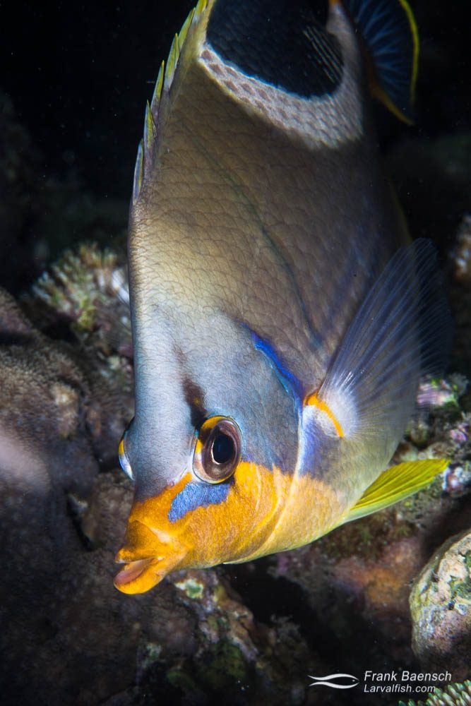 A saddled butterflyfish (Chaetodon ephippium). Indonesia.