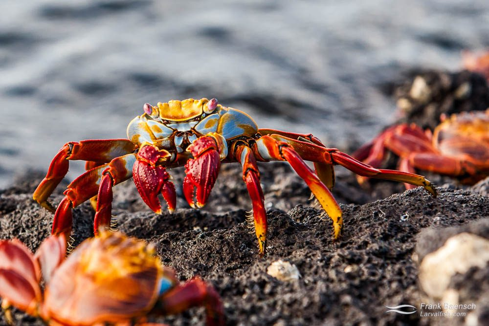 Sally lightfoot crabs (Grapsus Grapsus) on rocks in the Galapagos Islands.