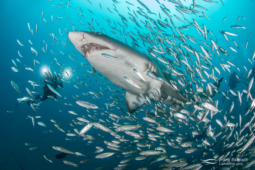 A divers looks on as a sand tiger shark (Carcharias taurus) surrounded by round scad (Decapterus punctatus) baitfish swims by. North Carolina.