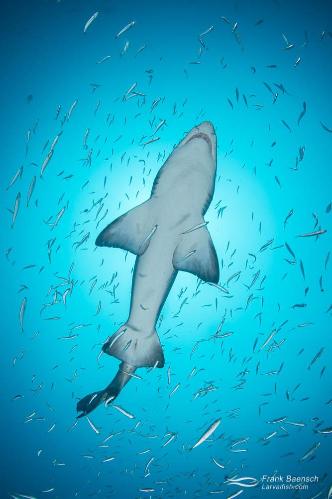 A sand tiger shark (Carcharias taurus) from below. North Carolina