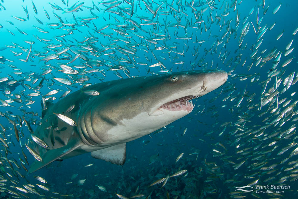 A sand tiger shark (Carcharias taurus) surrounded by round scad (Decapterus punctatus) baitfish. This species has one of the slowest birth rates of all sharks and is susceptible to even minimal population pressure. It's listed as vulnerable to endangered in various parts of the world. North Carolina.