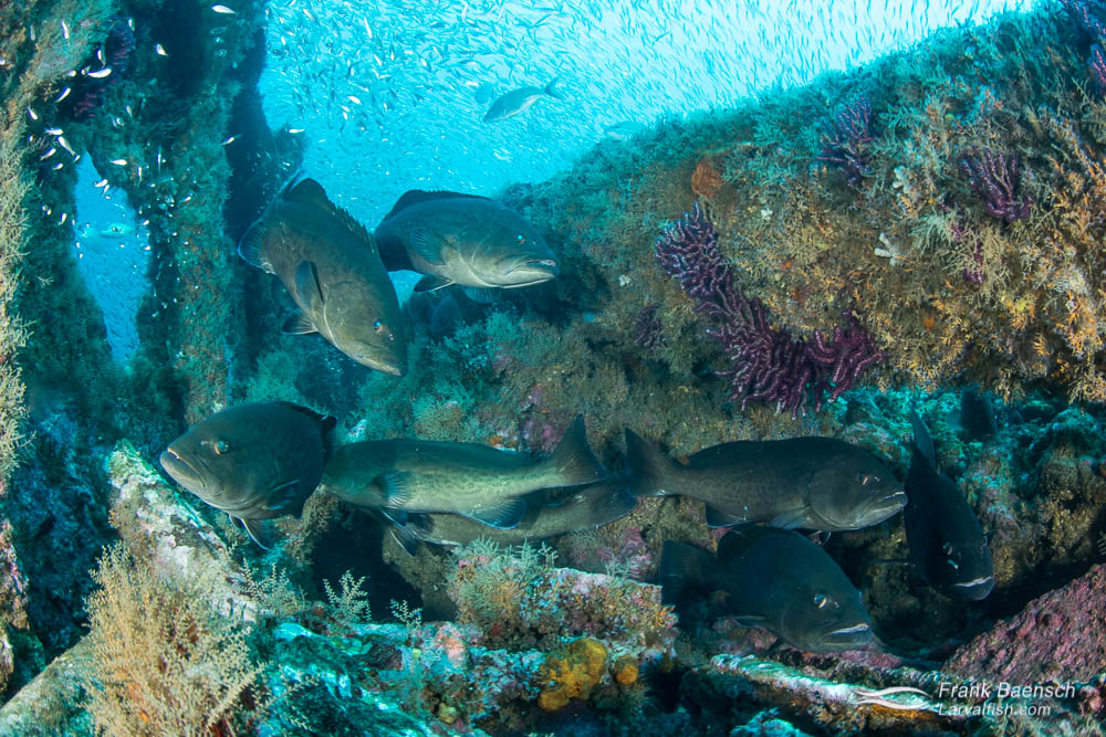 Gag grouper (Mycteroperca microlepis) aggregating on a deep wreck in North Carolina.