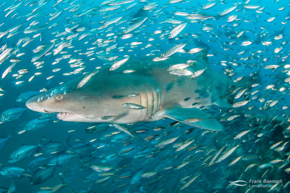 Upclose encounter of a sand tiger shark (Carcharias taurus) surrounded by round scad (Decapterus punctatus). North Carolina.