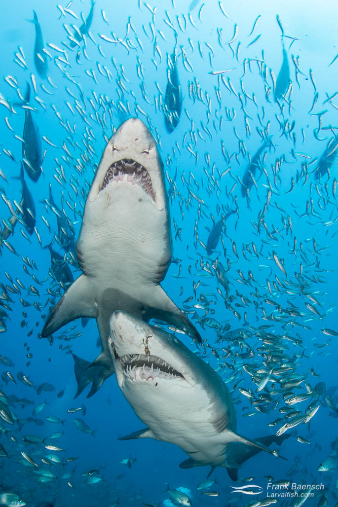 Upclose encounter with two sand tiger sharks (Carcharias taurus). North Carolina.
