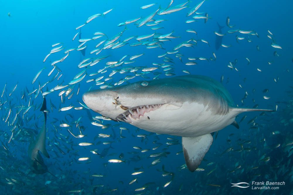 Upclose encounter of  sand tiger shark (Carcharias taurus) surrounded by round scad (Decapterus punctatus). North Carolina.