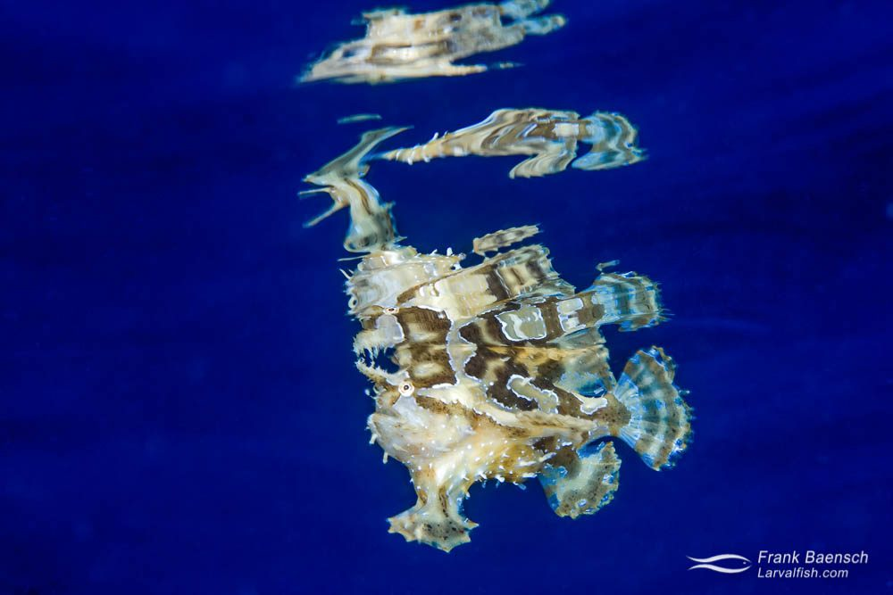 Sargassumfish (Histrio histrio) reflecting off the surface in blue water. Indonesia.