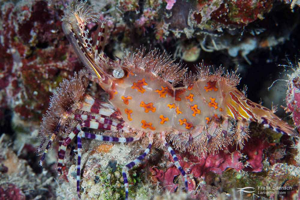 Saron shrimp (Saron sp.) in a crevice. Papua New Guinea.