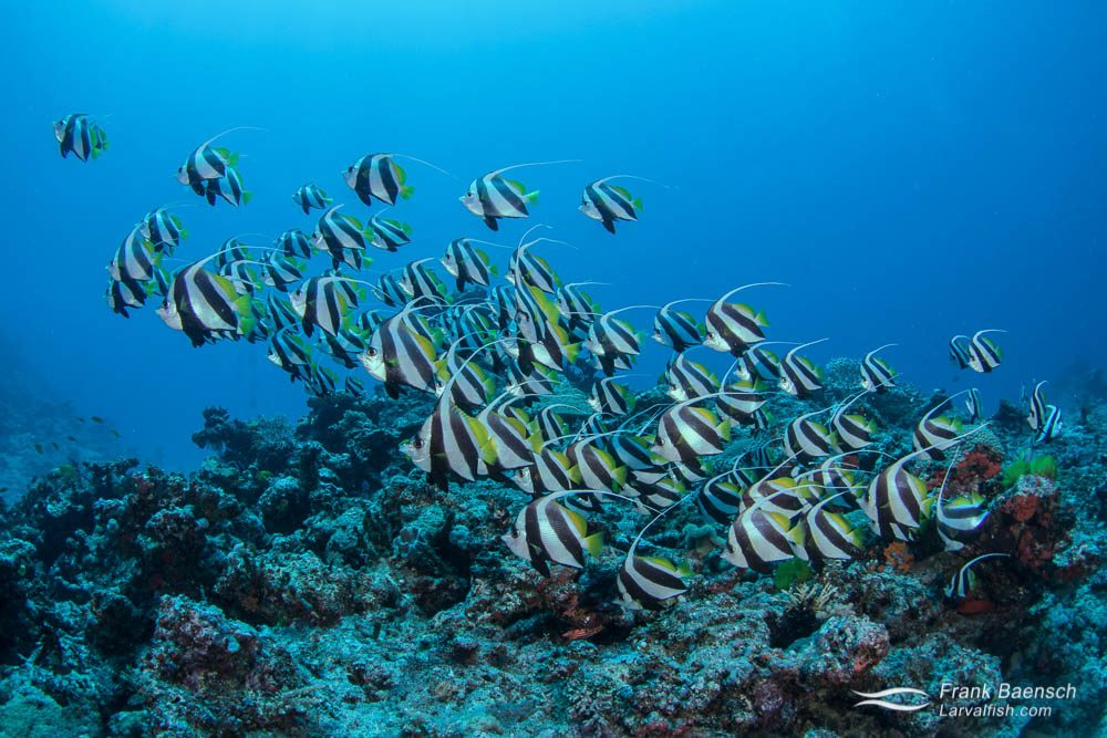 Schooling bannerfish (Heniochus diphreutes) formation in Fiji.