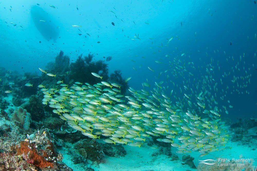 Bluestripe and goldline snappers schooling below boat. Indonesia.
