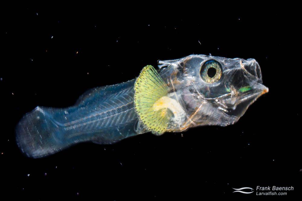Cultured scorpionfish (Scorpaenidae) larva; 28 dph - 6.8 mm. Hawaii.