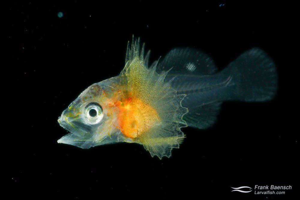 Cultured scorpionfish (Scorpaenidae) larva; 26 dph - 6.4 mm. Hawaii.