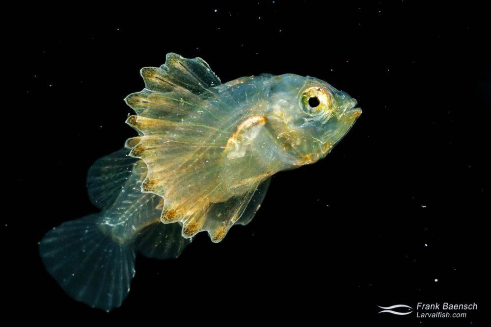Scorpionfish larva - 16.3 mm TL. Papua New Guinea.